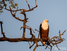African Fish-eagle - Haliaeetus vocifer 02