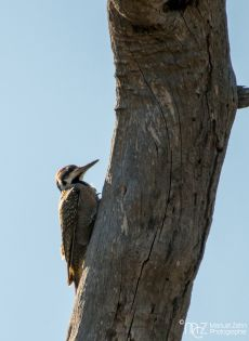 Bearded Woodpecker - Dendropicos namaquus (male)