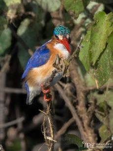 Malachite Kingfisher - Corythornis cristatus 04