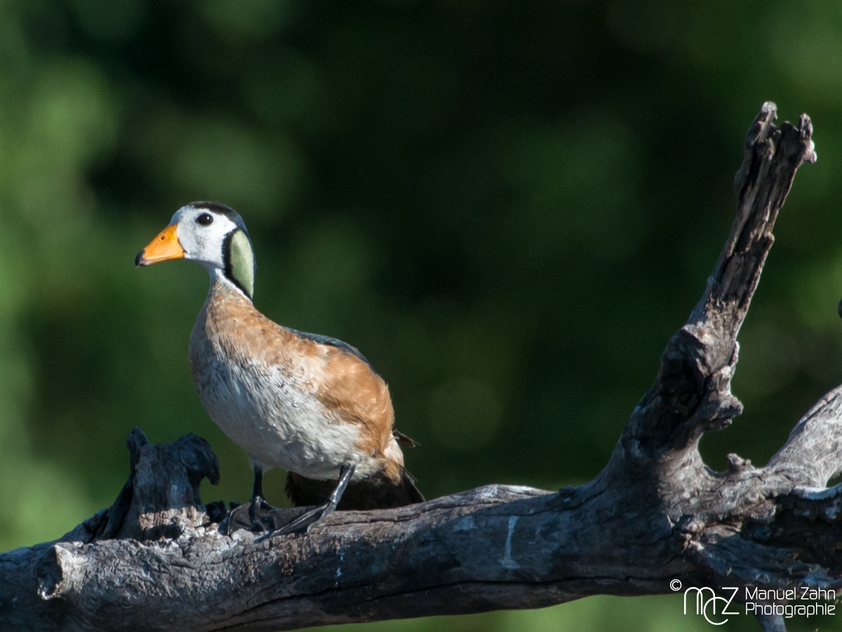 African Pygmy-goose - Nettapus auritis (male)