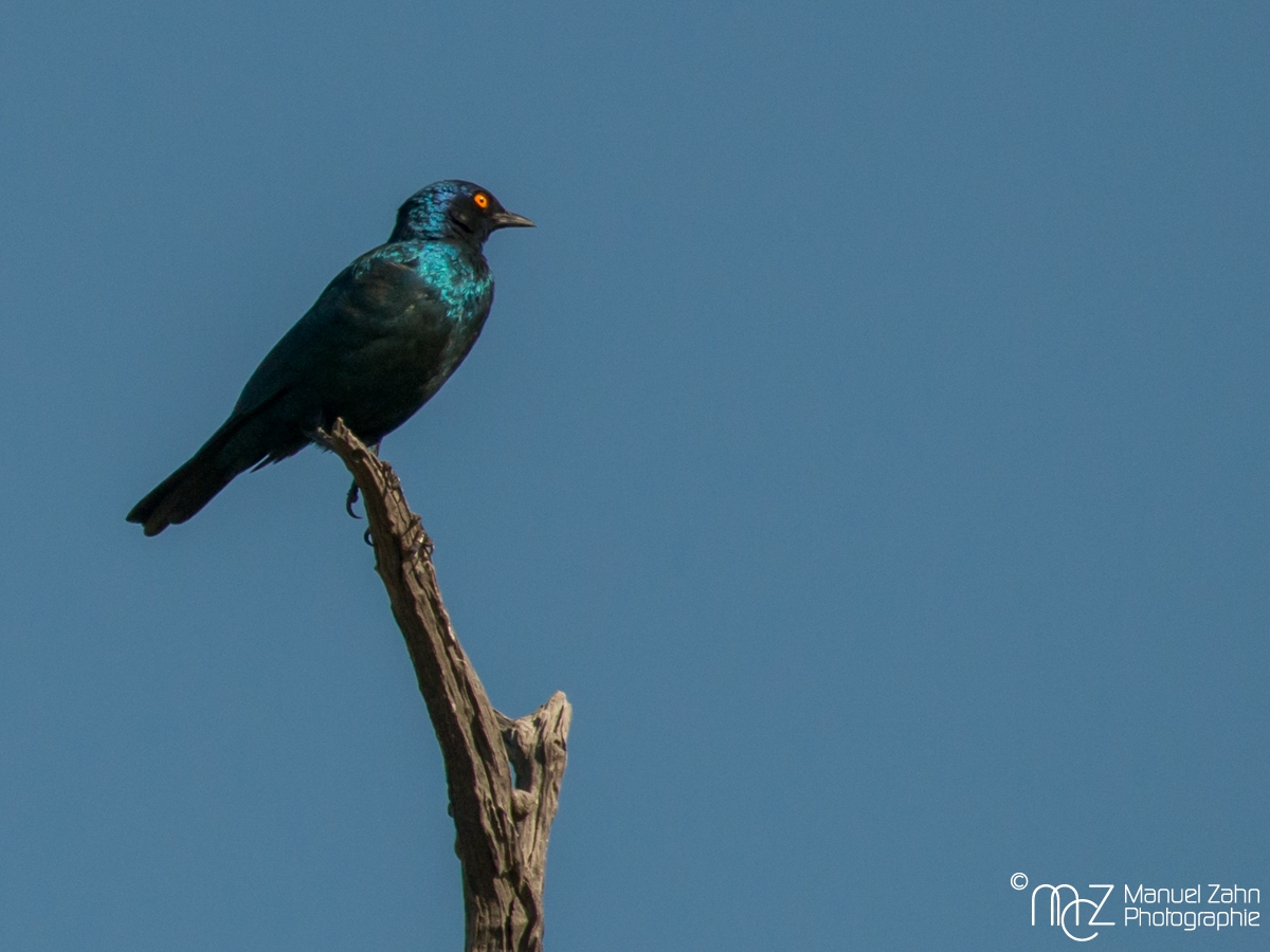 Cape Starling - Lamprotornis nitens