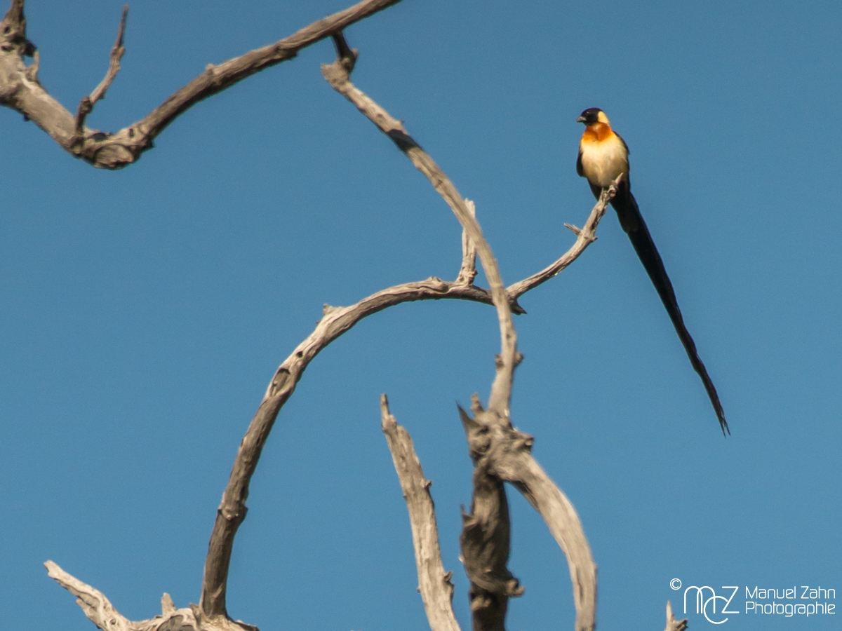 Long-tailed Paradise-whydah