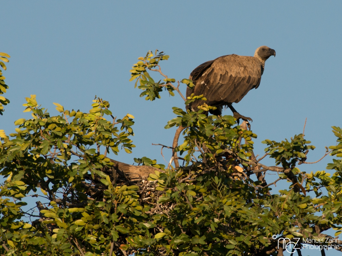 White-backed Vulture - Gyps africanus 02