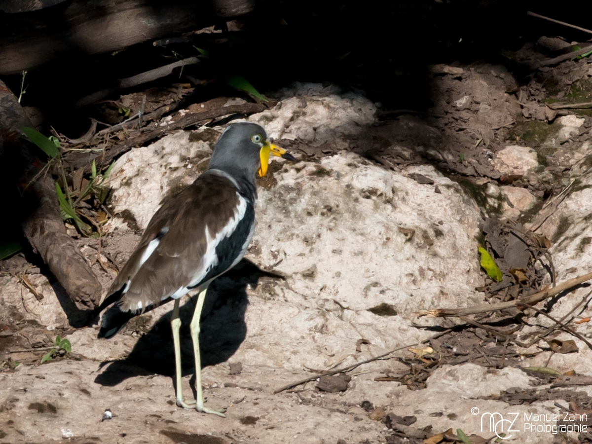 White-headed (White-crowned) Lapwing - Vanellus albiceps